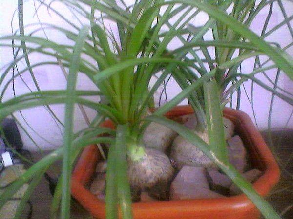 Скажите из личного опыта сложен ли уход за нолиной дома? Как долго живет растение? Спасибо