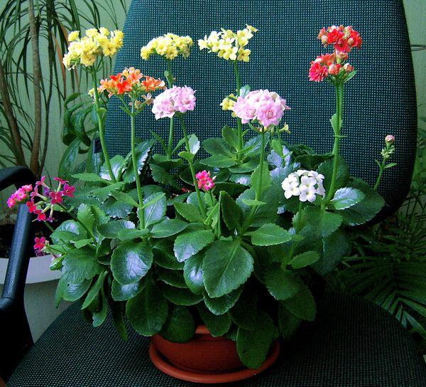 Уход за цветами каланхое