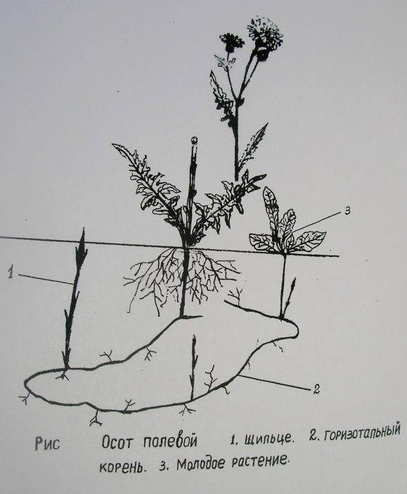 Сорняки в саду, аффективные способы борьбы с ними