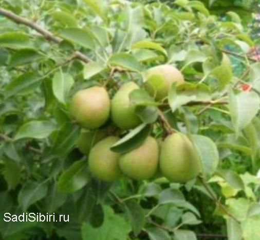 Сорта груши, выведенные в сибири