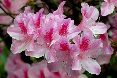 Бонсай из азалии: обрезка после цветения, прищипка, уход, фото
