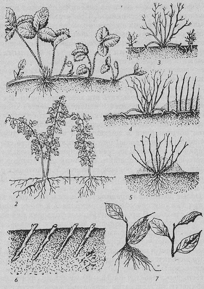 Способы размножения плодовых и ягодных культур, подготовка к посеву, стратификация семян и выращивание сеянцев