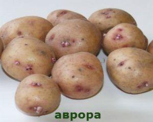 Столовый, среднепоздний картофель «аврора»: описание сорта, характеристики и фото