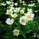 Тенелюбивые цветы - анемоны