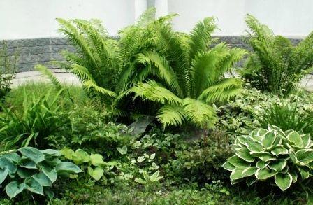 Виды папоротника садового: дизайн участка