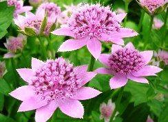 Тенелюбивые цветы - Астранция большая