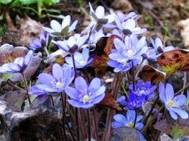 цветы Печеночница