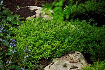 Тимьян, богородская - трава лекарство и пряность с огорода, формы, сорта, агротехника, рецепты