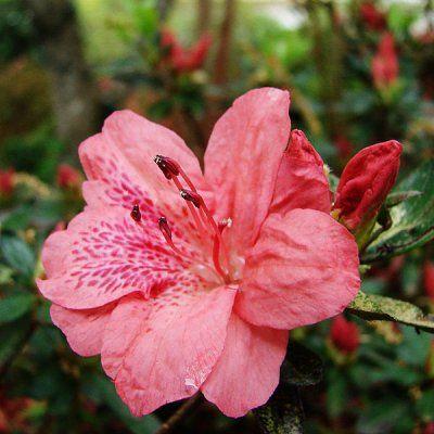 Тонкости ухода и выращивания азалии в домашних условиях, размножение семенами и черенками