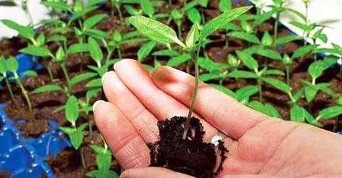 Торфяные таблетки для рассады цветов, овощей