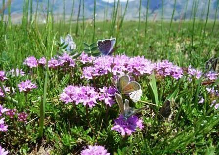 Трава чабрец-лечебные свойства и противопоказания