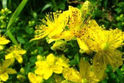 Трава зверобой — полезные свойства и противопоказания