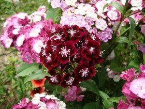 Турецкая гвоздика: размножение, выращивание и уход