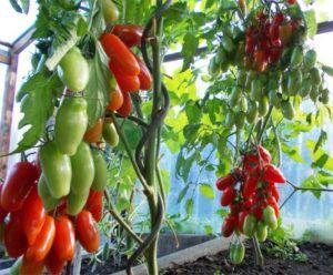 Удивительный томат необычной формы — «аурия» : описание сорта и фото