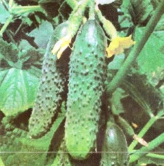 Удобрение и подкормка огурцов