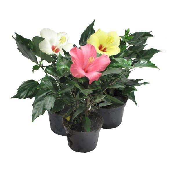Уход в домашних условиях за «цветком любви» — гибискусом