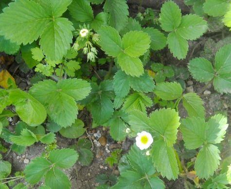 Уход за садовой земляникой весной