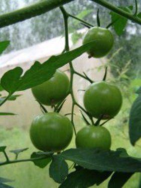 Уход за томатами летом, подвязка, пасынкование, подкормки, борьба с болезнями