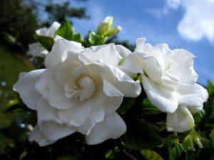 Уход за требовательным цветком гардении