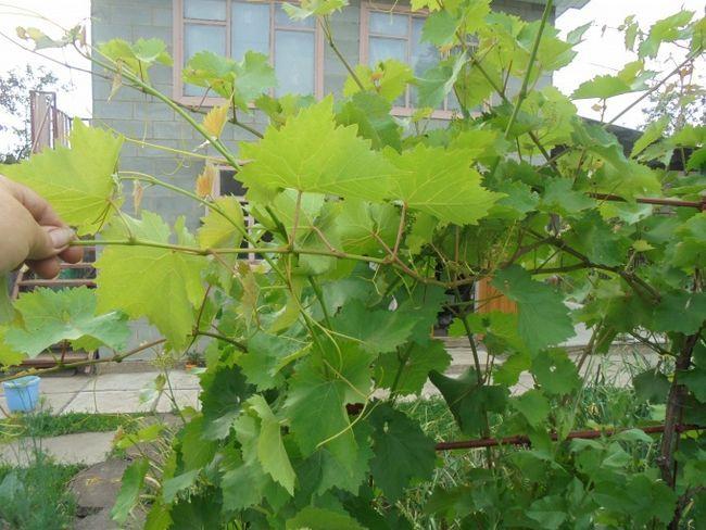 Уход за виноградом летом: обрезка, подкормка, прищипка побегов