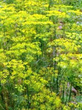 Укроп как пряно-вкусовая огородная культура, посев укропа и уход за ним