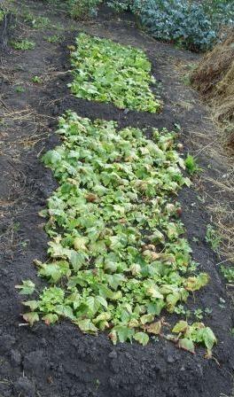Устройство грядок для укоренения зелёных черенков