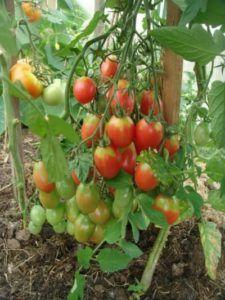 Великолепный фаворит дачников томат «чио чио сан»: описание сорта, характеристика, фото
