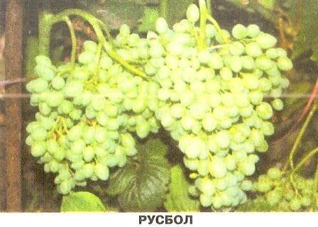 Виноград русбол для начинающих виноградарей и другие ранние сорта винограда для северных регионов