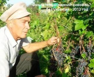 Виноград в наших садах, виноград в сибири