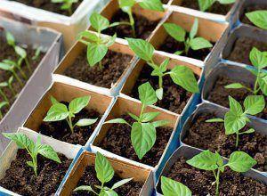 Все нюансы выращивания перца сладкого из семян в домашних условиях: подготовка перед посадкой и уход за рассадой
