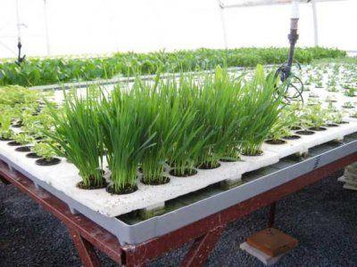 Преимущества и какую зелень можно выращивать в теплице?