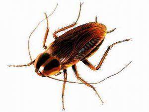 Выясняем сколько живут тараканы? Домашние и в дикой природе. Какой у них жизненный цикл