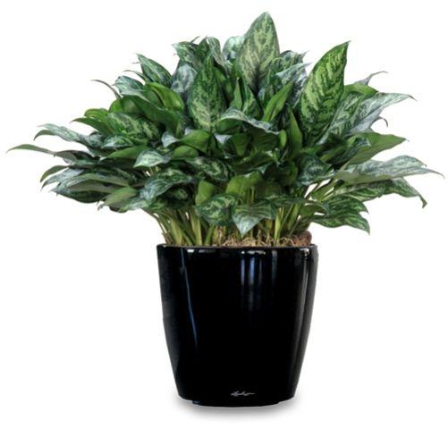 Выращиваем безумно красивую аглаонему в домашних условиях