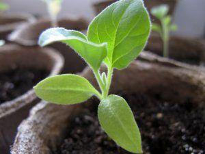 Выращивание баклажанов: посадка и уход за рассадой, подбор почвы и тары, правильный полив и подкормка, пикировка и пересадка