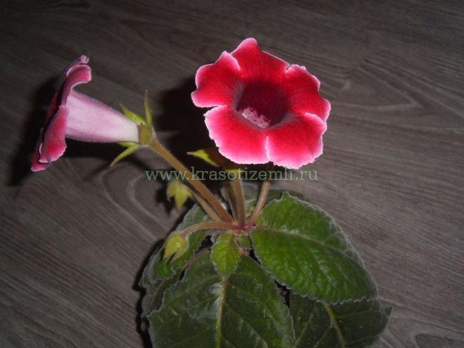 Выращивание глоксинии в домашних условиях