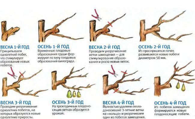 Выращивание груши, условия и уход