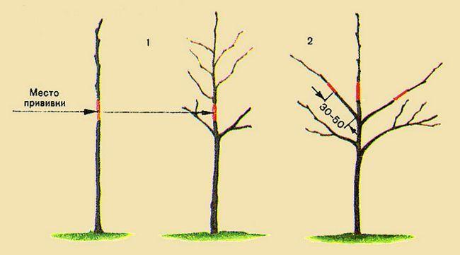 посадка вырщивание груши