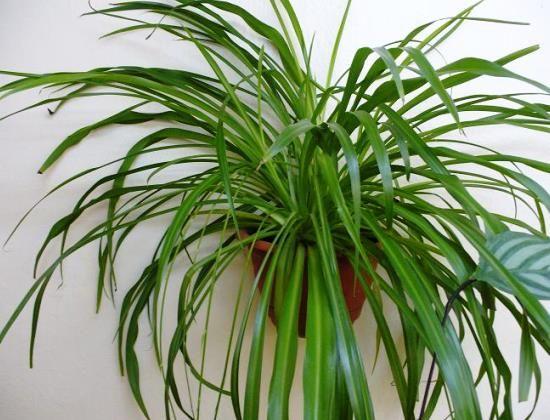 Выращивание хлорофитума в домашних условиях