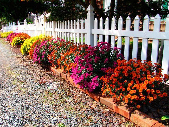 Выращивание хризантем из семян, посадка и правильный уход на даче