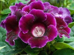 Выращивание и уход за цветами глоксиния