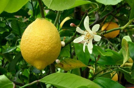 Выращивание лимона дома: размножение черенками