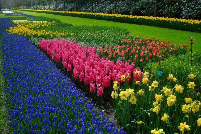 Выращивание нарциссов в саду и дома из семян, уход и условия