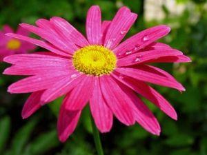 Выращивание пиретрума и правильный уход за этим растением