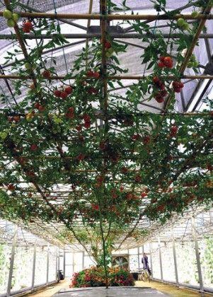 Выращивание томатов с раздельным водным и органическим питанием