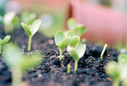 Высаживание арбузной рассады и уход за ней в открытом грунте