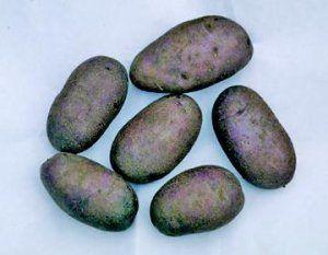 Загадка картофельных грядок — описание и характеристики картофеля «черный принц»