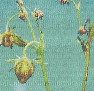 Землянично-малинный долгоносик, меры борьбы с ним, наиболее эффективные препараты