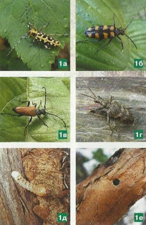 Жуки-усачи - вредители сада, меры борьбы с ними
