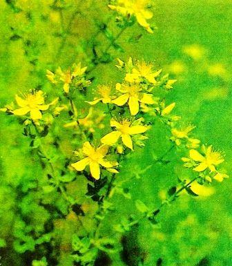 Зверобой - трава от девяноста девяти болезней, сбор травы, рецепты